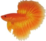 015A betta fish orange - 5 cm