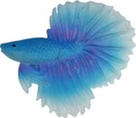 015B betta fish blue - 5 cm